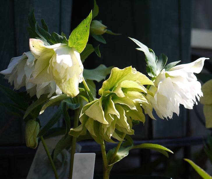 オリエンタリス-ホワイトのダブルの花がたくさん咲いた。2017年-2.jpg