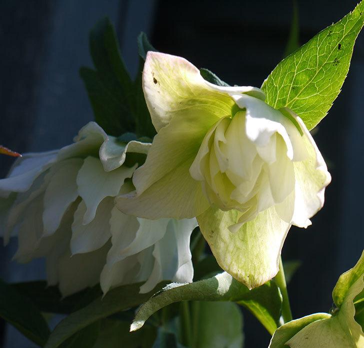 オリエンタリス-ホワイトのダブルの花がたくさん咲いた。2017年-3.jpg