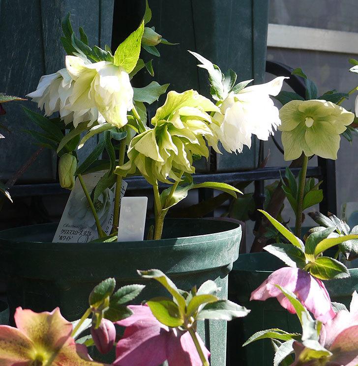 オリエンタリス-ホワイトのダブルの花がたくさん咲いた。2017年-4.jpg