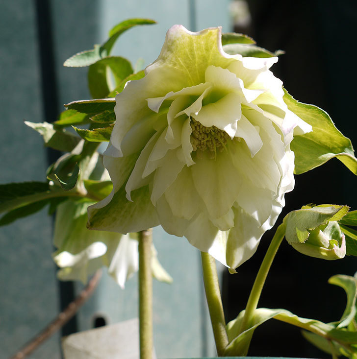 オリエンタリス-ホワイトのダブルの花が咲いた。2017年-1.jpg