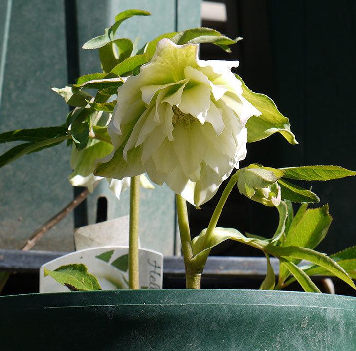 オリエンタリス-ホワイトのダブルの花が咲いた。2017年-2.jpg