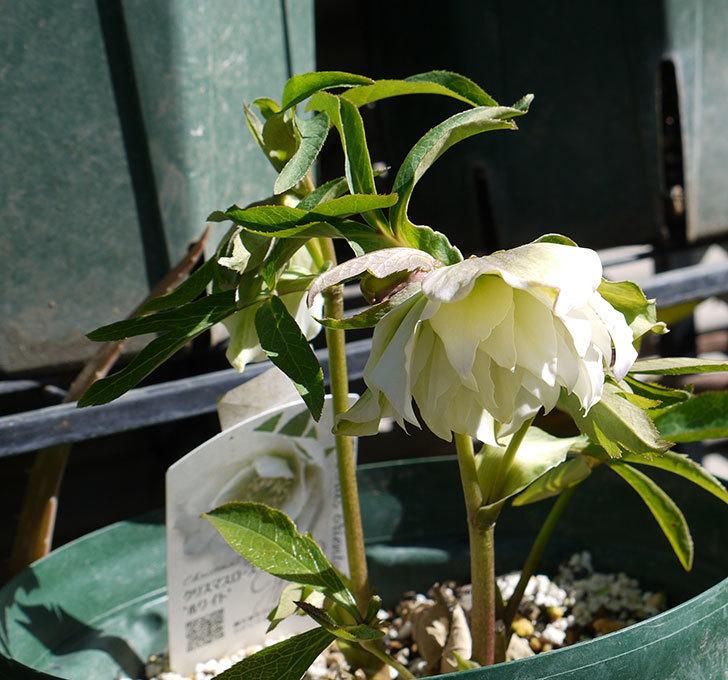オリエンタリス-ホワイトのダブルの花が咲いた。2017年-3.jpg