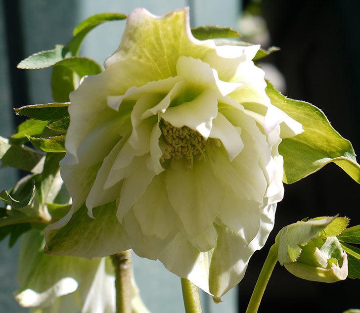 オリエンタリス-ホワイトのダブルの花が咲いた。2017年-4.jpg