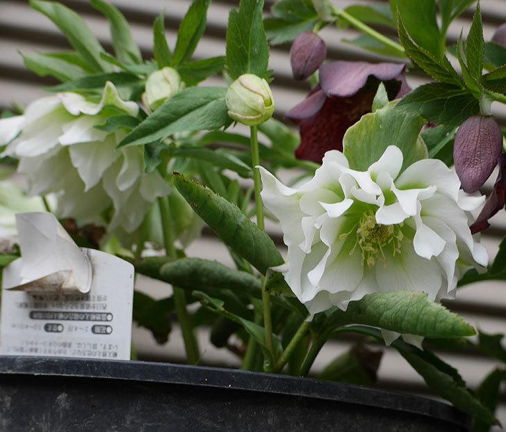オリエンタリス-ホワイトのダブルの花が咲いた。2019年-1.jpg