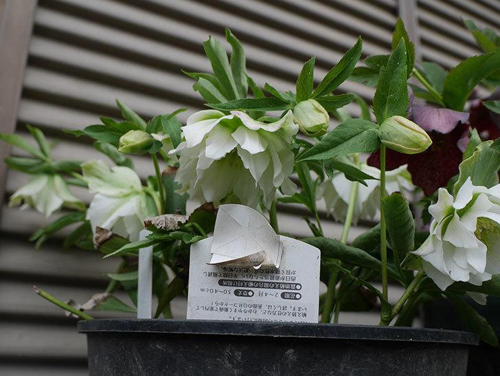 オリエンタリス-ホワイトのダブルの花が咲いた。2019年-2.jpg