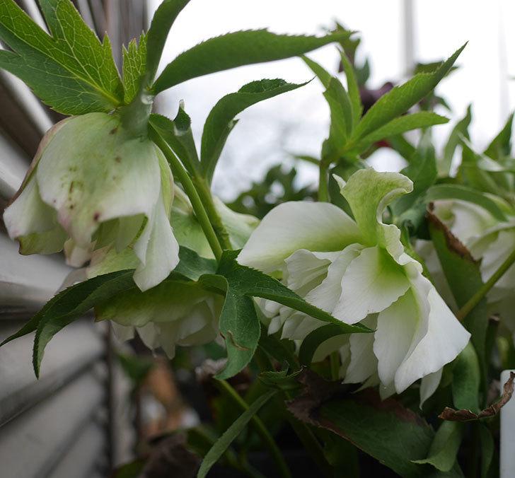 オリエンタリス-ホワイトのダブルの花が咲いた。2019年-3.jpg