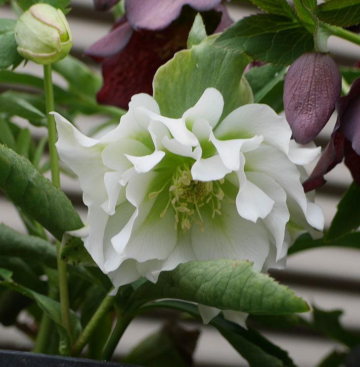 オリエンタリス-ホワイトのダブルの花が咲いた。2019年-4.jpg