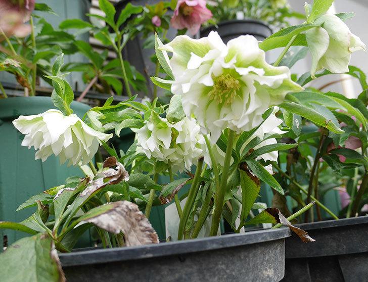 オリエンタリス-ホワイトのダブルの花が咲いた。2019年-5.jpg