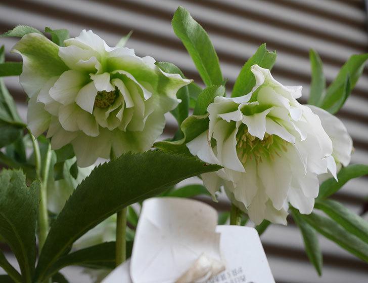 オリエンタリス-ホワイトのダブルの花が咲いた。2020年-1.jpg