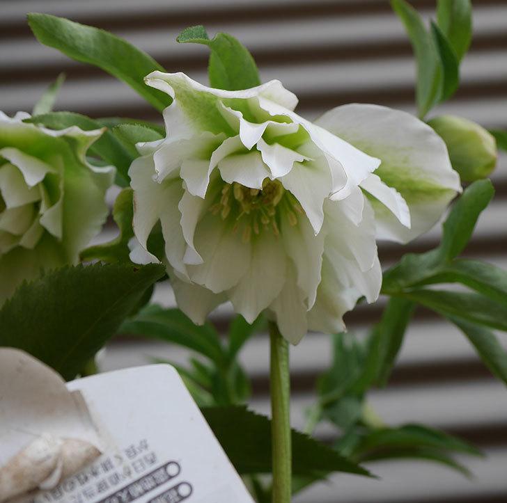オリエンタリス-ホワイトのダブルの花が咲いた。2020年-2.jpg