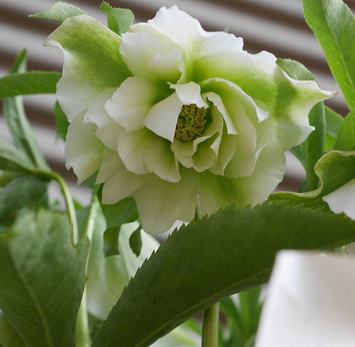 オリエンタリス-ホワイトのダブルの花が咲いた。2020年-3.jpg