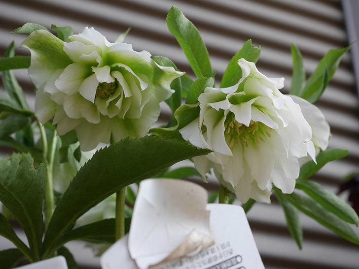 オリエンタリス-ホワイトのダブルの花が咲いた。2020年-4.jpg