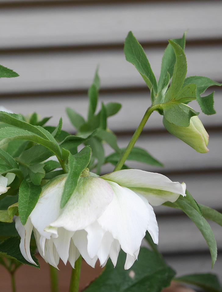 オリエンタリス-ホワイトのダブルの花が咲いた。2020年-6.jpg