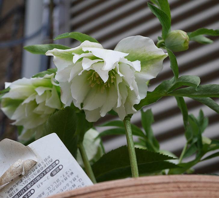 オリエンタリス-ホワイトのダブルの花が咲いた。2020年-7.jpg