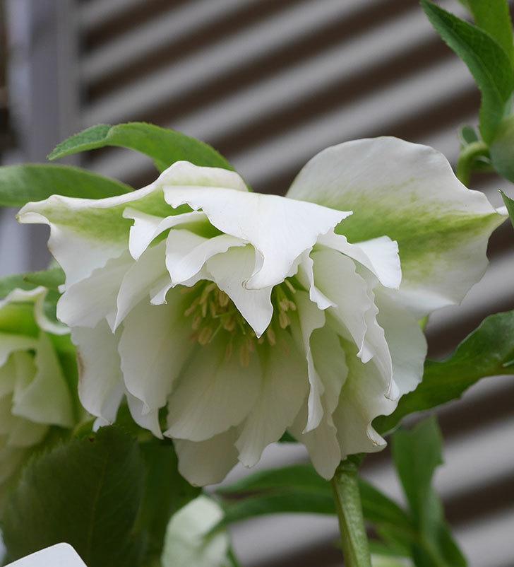 オリエンタリス-ホワイトのダブルの花が咲いた。2020年-8.jpg