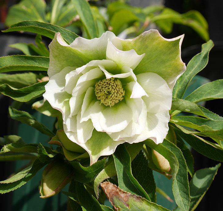オリエンタリス-ホワイトのダブルの花が咲きだした。2018年-1.jpg