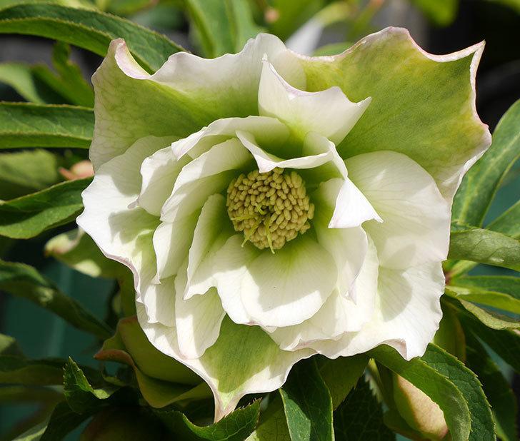 オリエンタリス-ホワイトのダブルの花が咲きだした。2018年-3.jpg
