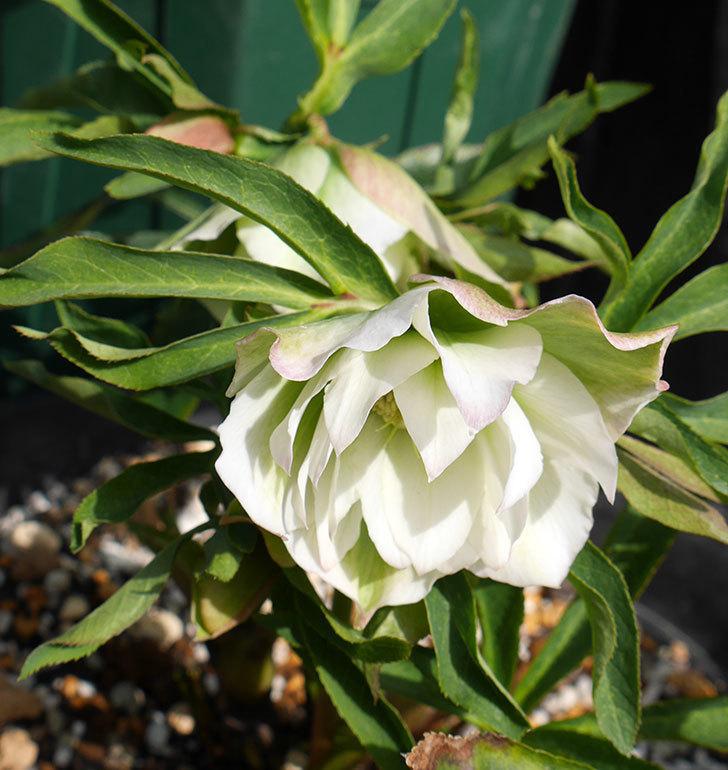 オリエンタリス-ホワイトのダブルの花が咲きだした。2018年-4.jpg