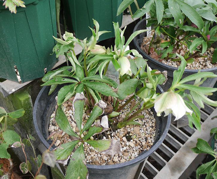 オリエンタリス-ホワイトのダブルの花が咲きだした。2019年-5.jpg