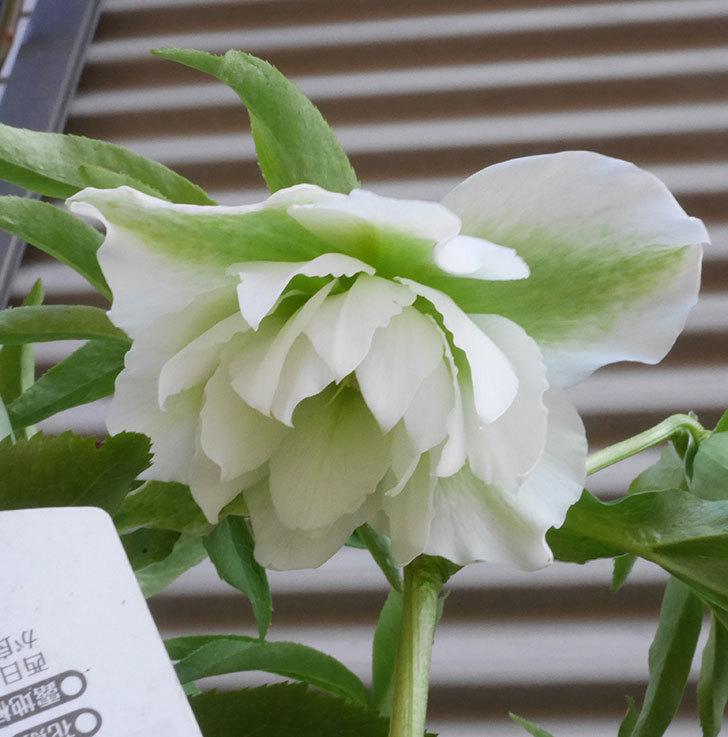 オリエンタリス-ホワイトのダブルの花が咲きだした。2020年-1.jpg