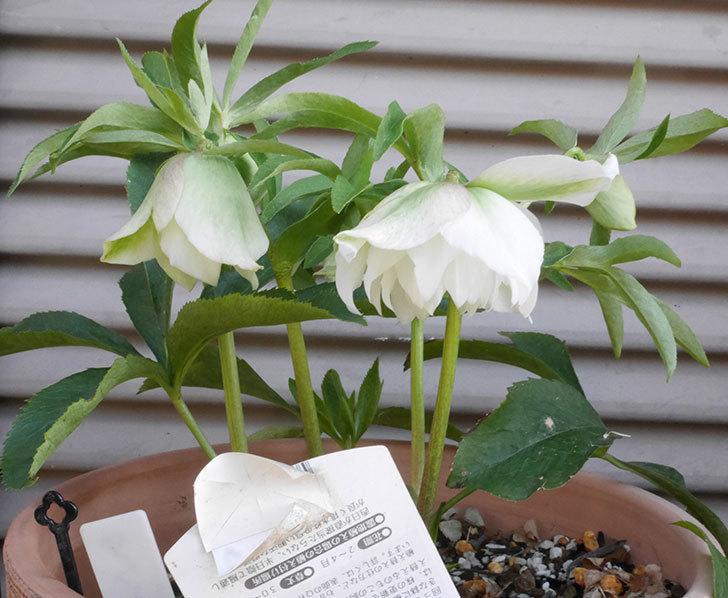 オリエンタリス-ホワイトのダブルの花が咲きだした。2020年-2.jpg