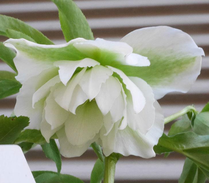 オリエンタリス-ホワイトのダブルの花が咲きだした。2020年-3.jpg
