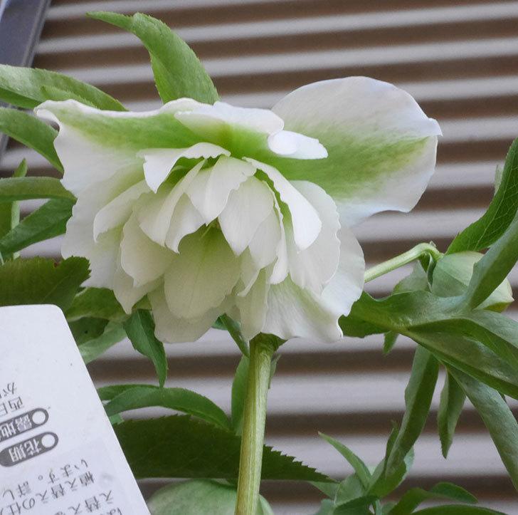 オリエンタリス-ホワイトのダブルの花が咲きだした。2020年-4.jpg