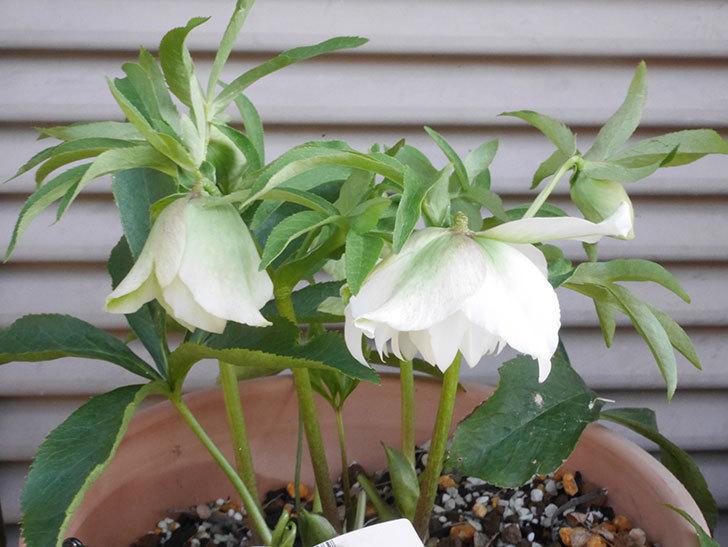 オリエンタリス-ホワイトのダブルの花が咲きだした。2020年-6.jpg