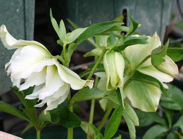 オリエンタリス-ホワイトのダブルの花が増えてきた。2017年-2.jpg