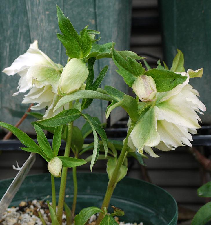 オリエンタリス-ホワイトのダブルの花が増えてきた。2017年-3.jpg