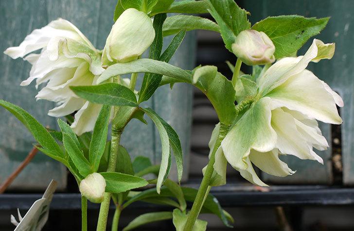 オリエンタリス-ホワイトのダブルの花が増えてきた。2017年-4.jpg