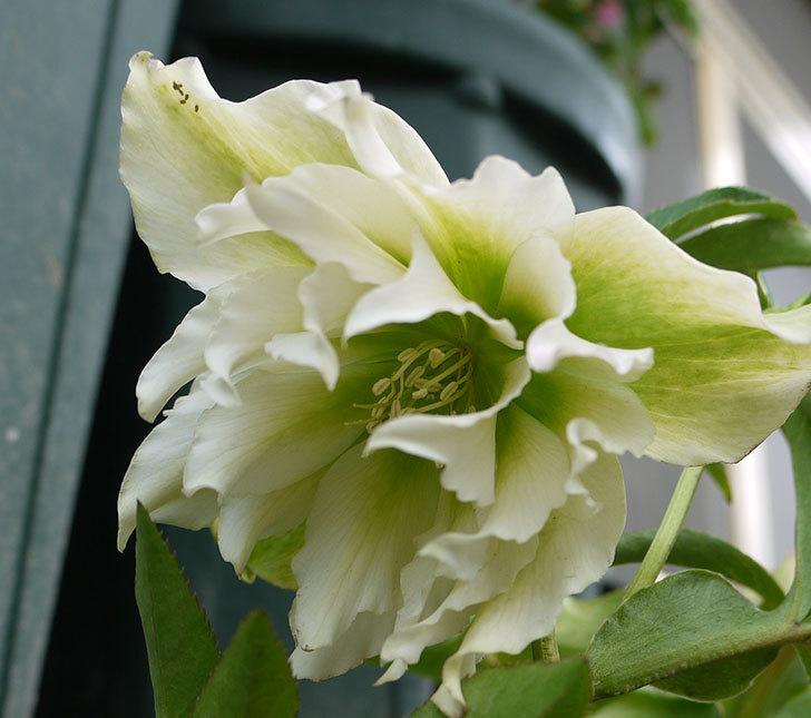 オリエンタリス-ホワイトのダブルの花が増えてきた。2017年-5.jpg
