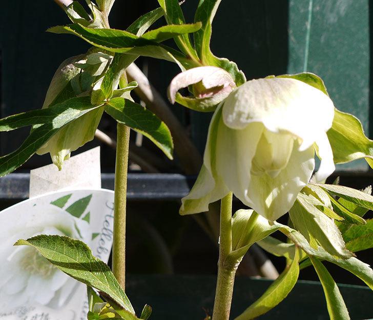 オリエンタリス-ホワイトのダブルの花が開いてきた。2017年-2.jpg
