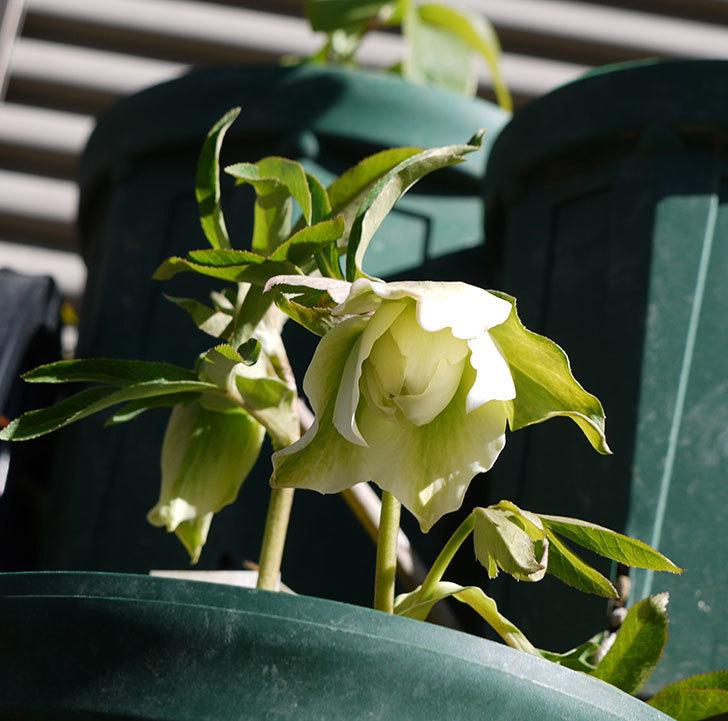 オリエンタリス-ホワイトのダブルの花が開いてきた。2017年-4.jpg
