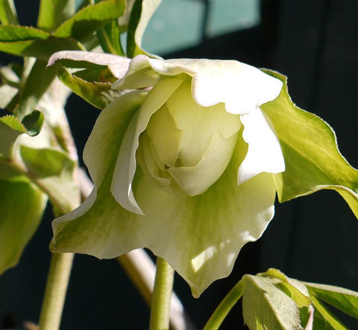 オリエンタリス-ホワイトのダブルの花が開いてきた。2017年-5.jpg