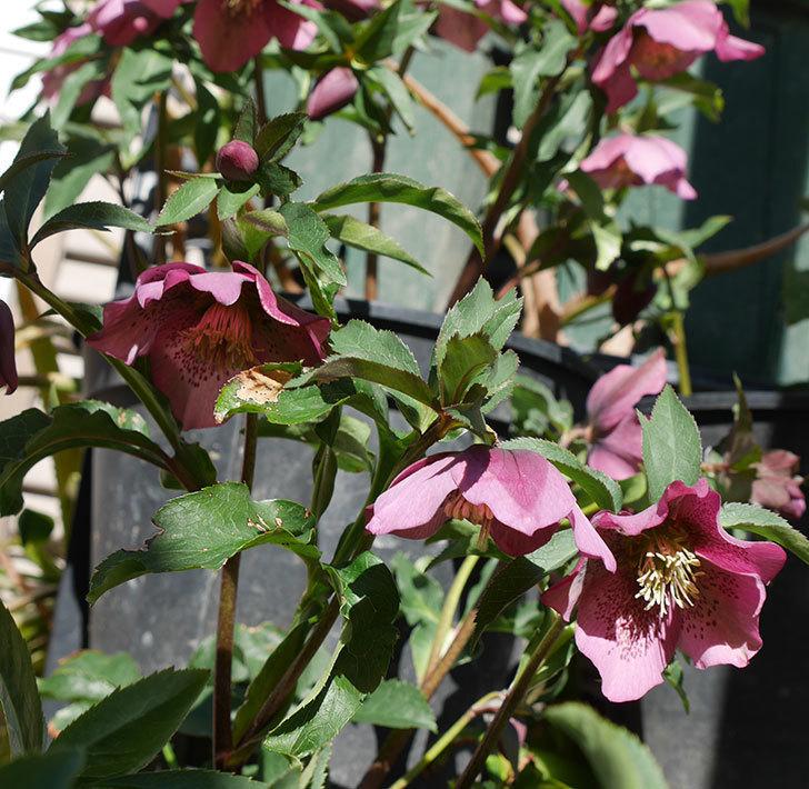オリエンタリス-紫のシングルの花がたくさん咲いた。2018年-12.jpg