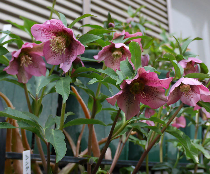 オリエンタリス-紫のシングルの花がたくさん咲いた。2018年-8.jpg