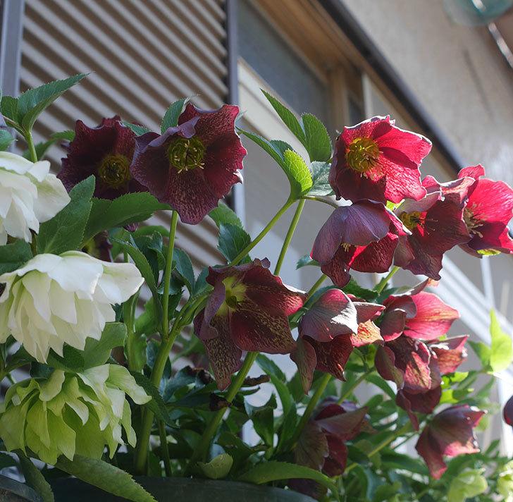 オリエンタリス-紫のシングルの花がたくさん咲いた。2019年-2.jpg