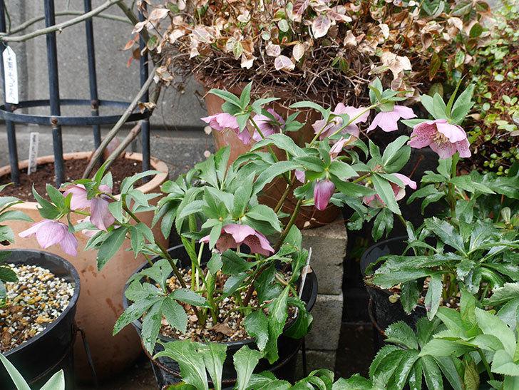 オリエンタリス-紫のシングルの花がたくさん咲いた。2019年-5.jpg