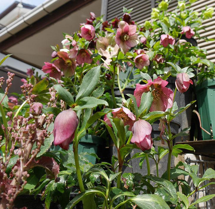 オリエンタリス-紫のシングルの花がたくさん咲いた。2019年-7.jpg