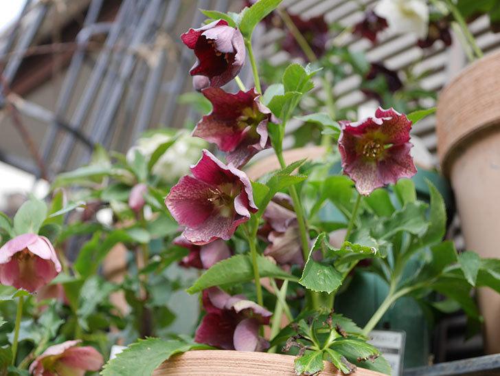 オリエンタリス-紫のシングルの花がたくさん咲いた。2020年-14.jpg