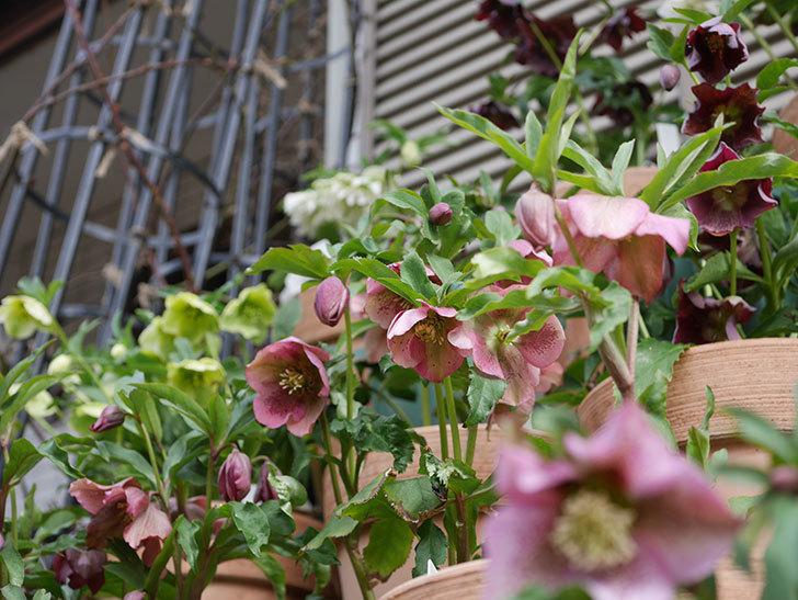 オリエンタリス-紫のシングルの花がたくさん咲いた。2020年-17.jpg