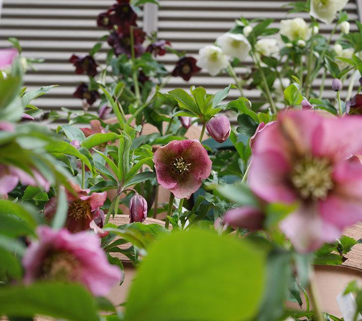 オリエンタリス-紫のシングルの花がたくさん咲いた。2020年-19.jpg
