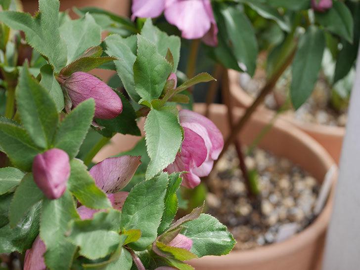 オリエンタリス-紫のシングルの花がたくさん咲いた。2020年-3.jpg