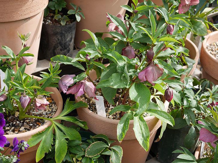 オリエンタリス-紫のシングルの花がたくさん咲いた。2020年-5.jpg