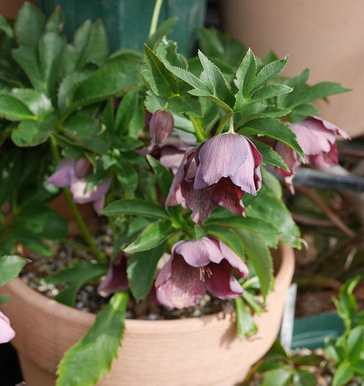 オリエンタリス-紫のシングルの花がたくさん咲いた。2020年-8.jpg