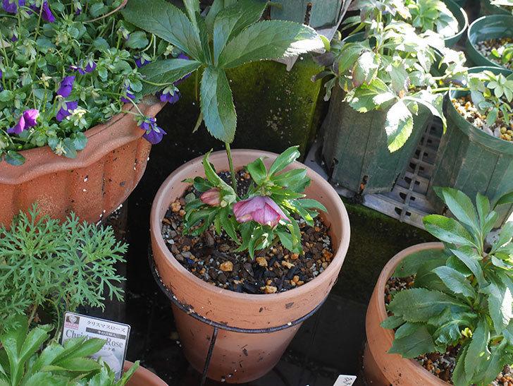オリエンタリス-紫のシングルの花が咲いた。2020年-5.jpg