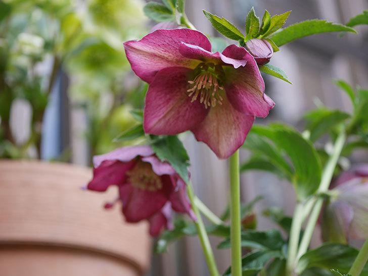 オリエンタリス-紫のシングルの花が増えて来た。2020年-3.jpg
