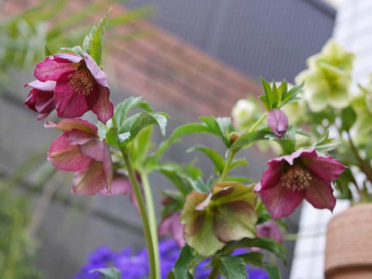 オリエンタリス-紫のシングルの花が増えて来た。2020年-4.jpg