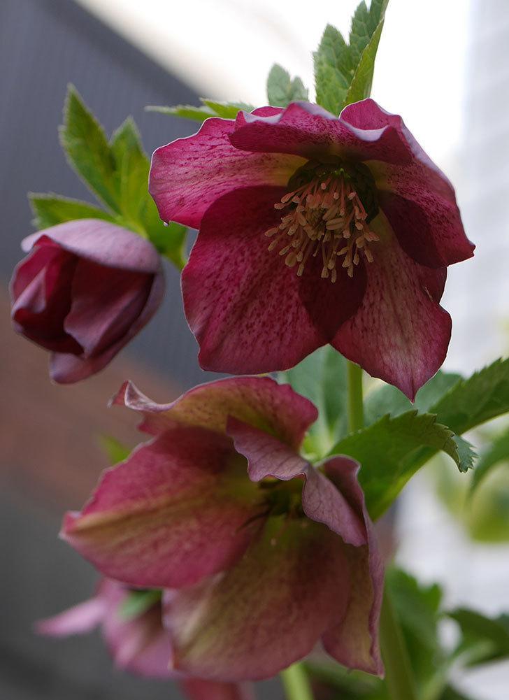 オリエンタリス-紫のシングルの花が増えて来た。2020年-7.jpg
